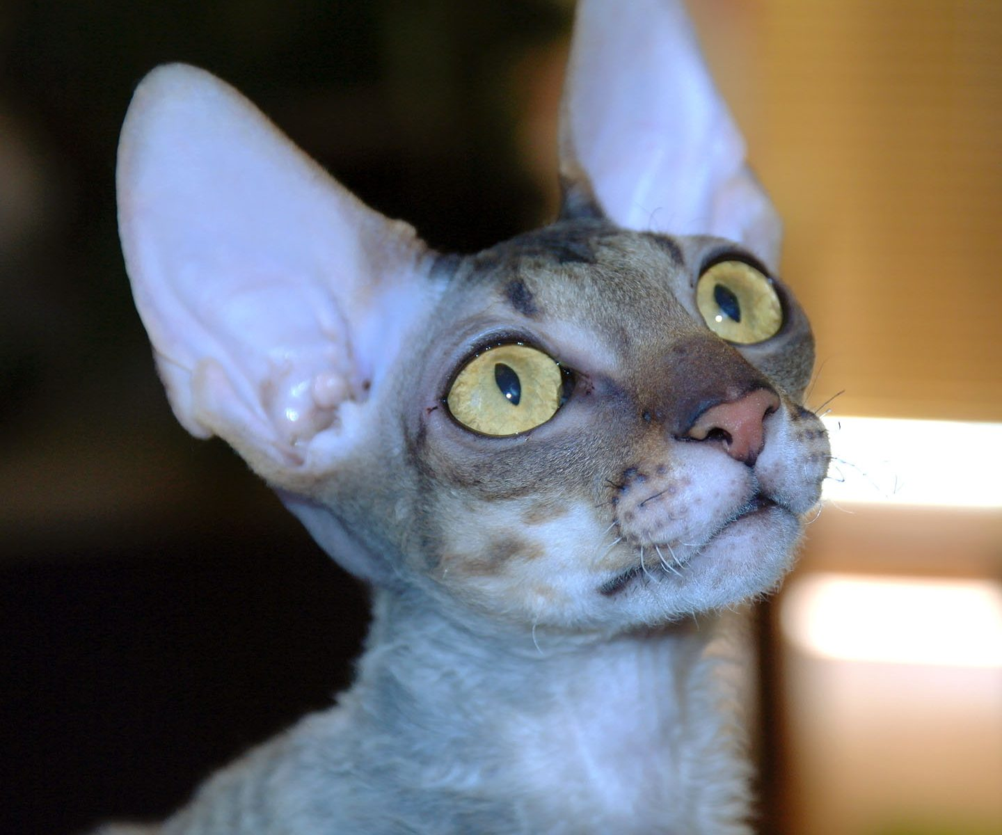 O plemeni Cornish Rex